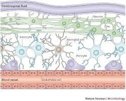 Blood Brain Barrier Anatomy 110 Best Brain Images On Pinterest Brain Anatomy Neurology And