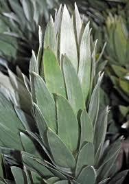 argentum silver tree leucadendron proteas and leucadendrons
