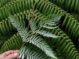 native plants of new zealand cyathea dealbata wikipedia