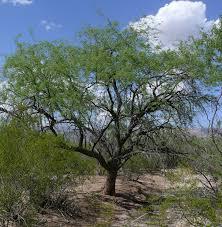 native arizona plants prosopis velutina wikipedia