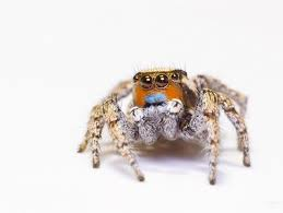 What Colour Is Brazil Flag Do These Jumping Spiders See Color The Secret Is In Their Eyes