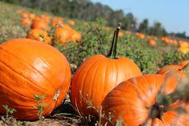 pumpkin iphone wallpaper pumpkin wallpapers hd wallpaper wiki