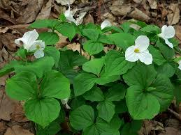 native plants virginia 2014 plant sale profile archives jefferson