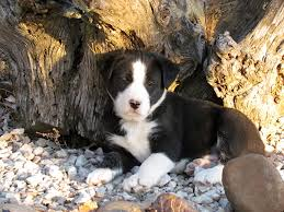australian shepherd e gatto chet border collie hanging tree x pup photo by valerie gatto
