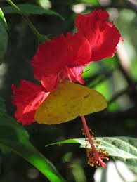 yellow sulfur butterfly on hibiscus flower