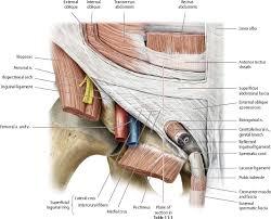 Right Side Human Anatomy Abdominal Wall Atlas Of Anatomy