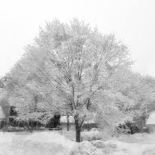 snow frosted sugar maple tree vintage maine landscape number three