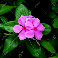vinca flowers beautiful pink vinca flowers madagascar periwinkle stock photo