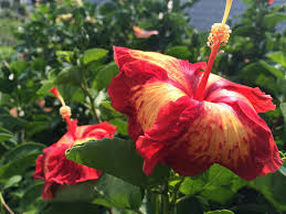 Braided Hibiscus Tree Pictures by Pruning Hibiscus Youtube