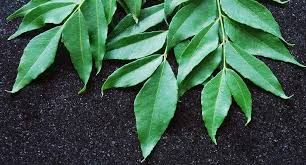 Curry Leaf Plant Diseases - curry leaves for weight loss curry leaves benefits natural remedy