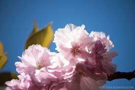 cherry blossom watch kwanzan edition arpil 16 2016