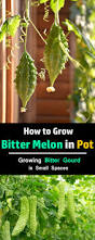 how to grow bitter melon growing bitter gourd in pots balcony