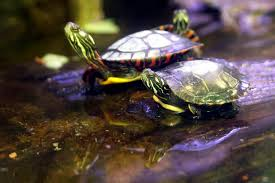 five false notions about the pet turtle pethelpful