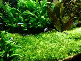 riccia and java moss carpets step by step guide uk aquatic