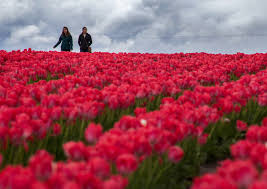 tulip fields bloom at wooden shoe tulip farm photo galleries
