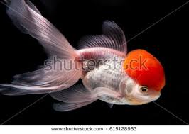 goldfish ornament stock images royalty free images vectors