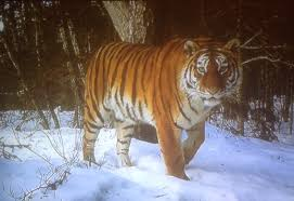tigers and how they help us understand meaning the changeyourlife