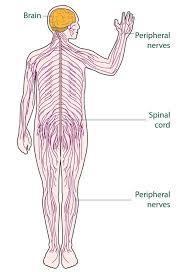 Anatomy Of Human Body Bones Best 25 Nervous System Ideas On Pinterest Nerve Cell Function