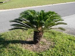 mini banana tree mini banana palm tree stock image image of bush grass 78467397