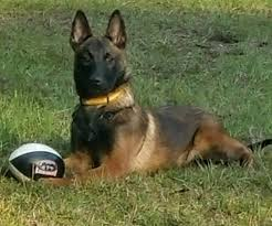 belgian malinois new zealand mbp belgian malinois get quote pet training 8282 county rd