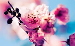 pretty wallpapers for desktop beautiful cherry blossoms macbook pro wallpaper hd random