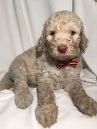 Gingerdoodle by Willowgreen Golden Doodles Of New York Puppies For Sale