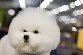 bichon frise quilt the drama and excitement at day one of the westminster kennel club