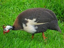 the joys of keeping guinea fowl pets4homes