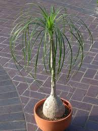 Umbrella Plant Diseases - ponytail palm care u2013 how to grow beaucarnea recurvata