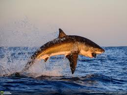 shark jump pesquisa google shark attack pinterest shark