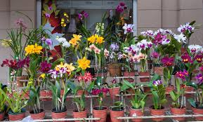 orchids for sale orchids for sale market in asuncion paraguay stock image