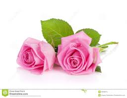 Flower Pictures Two Pink Rose Flowers Stock Image Image Of Beauty Beautiful