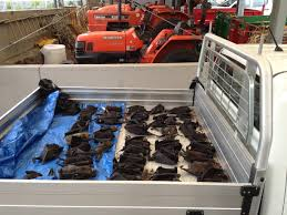 hie killer climate tens of thousands of flying foxes dead in a day