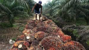 Minyak Kelapa Sawit Terkini minyak sawit bantahan malaysia terhadap diskriminasi eu dapat