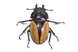 was ist das für ein insekt eine wanze oder was urlaub insekten insekt käfer wanze in der klasse odontolabis stockfoto bild