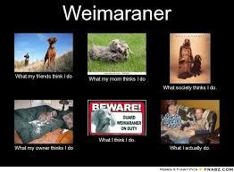 Honey Badger Meme Generator - weimaraner meme generator what i do pets pinterest