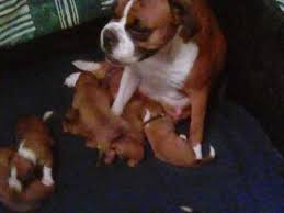 boxer dog 3 weeks pregnant boxer dogs and puppies for sale in the uk pets4homes