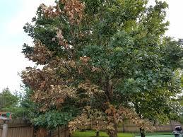 White Oak Tree Bark Dead Branch On Oak Tree Bark Gone Black Holes Ask An Expert