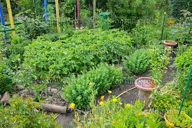 image allotment garden with vegetable and perennial beds 473302