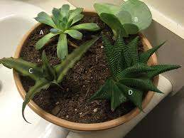 identifying my succulents with google images backyard neophyte