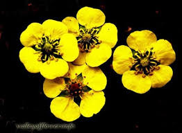 Flowers Information - name of flowers in valley of flowers see pictures and identify flower