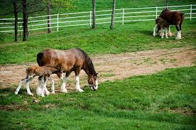 Budweiser Clydesdale Barn About Those Baby Budweiser Clydesdales Simply Marvelous Horse World