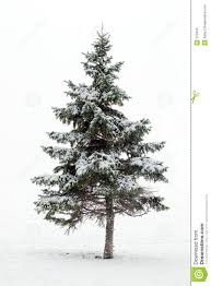 evergreen trees lessons tes teach