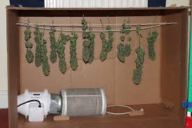 northern lights grow box sensi cannabis forum ss northern lights 5 x haze grow diary