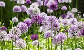 allium flowers alan titchmarsh s tips on growing allium in your garden garden