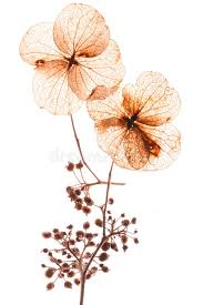 pressed flowers pressed flowers stock photo image of blossoms isolated 2210258