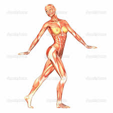 Anatomy Of Women Body 28 Anatomy Of Female Body Female Human Body Anatomy Street