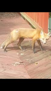 this little fox lives in my parents u0027 backyard eating bird seed i