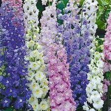 delphinium flowers magic fountains mix delphinium flowers and bulbs veseys