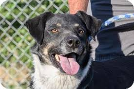 australian shepherd idaho pip adopted dog 11048012 emmett id border collie